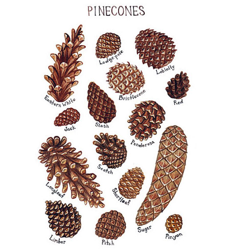 Pinecones Field Guide Print