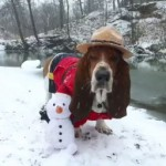 Basset Hound in Snow
